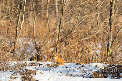 Fox Photograph - Foxes In The Hokkaido Winter by Natural Focal Point Photography