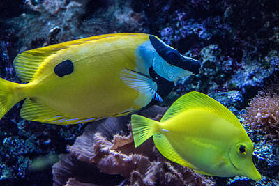 Photograph - Foxface Rabbitfish 2 by Douglas Barnett