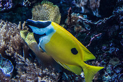 Photograph - Foxface Rabbitfish 3 by Douglas Barnett