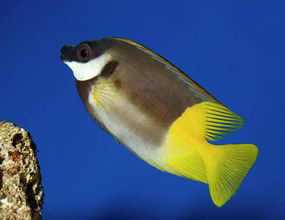Kings Lynn Photograph - Foxface Rabbitfish by Nigel Downer