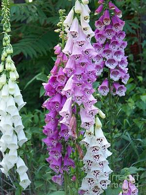 Eunice Miller Photograph - Foxglove After The Rains by Eunice Miller