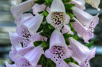 Photograph - Foxglove At Waters Edge by Penny Lisowski