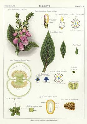 Foxglove Art Print by English School