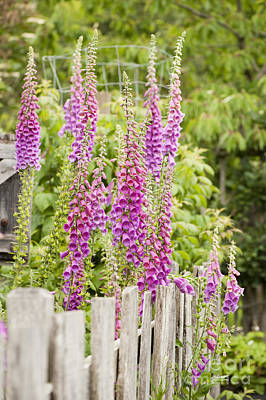 Foxglove Fence Art Print by Anne Gilbert