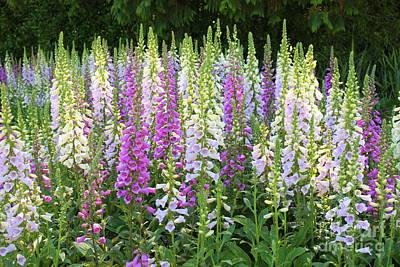 Foxglove Flowers Photograph - Foxglove Garden In Golden Gate Park by Carol Groenen