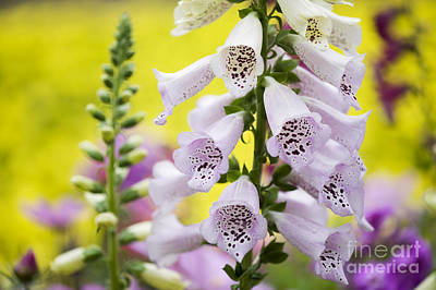 Foxglove Photograph - Foxgloves by Tim Gainey