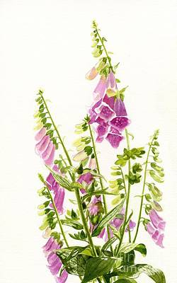 Foxglove Flowers Painting - Foxgloves With White Background by Sharon Freeman