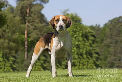 Foxhound Photograph - Foxhound Dog by Jean-Michel Labat