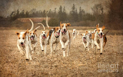 Foxhound Photograph - Foxhounds Corn Field by Heather Swan