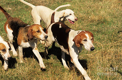Foxhounds Art Print by James Marchington
