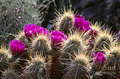 Photograph - Foxtail Cactus In Bloom by Craig Lovell