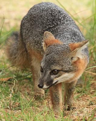 Photograph - Foxy Intensity by Adam Jewell