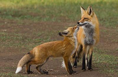 Foxy Kiss Original by Dan Alfson