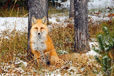 Photograph - Foxy Lady by C Sitton