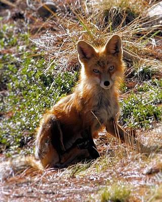 Photograph - Foxy Lady by Wade Waldrup
