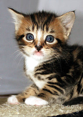 Photograph - Foxy The Kittens Big Eyes by Terri Waters