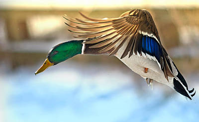 Mallard Wall Art - Photograph - Fraction Of Time by Rob Blair
