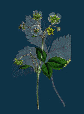 Strawberries Drawing - Fragaria Elatior Hautbois Strawberry by English School