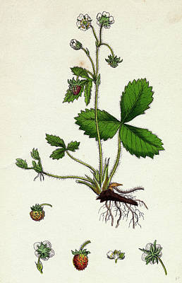Strawberries Drawing - Fragaria Vesca Wild Strawberry by English School