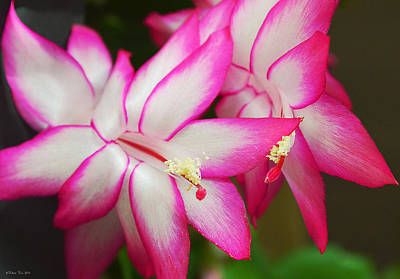 Winter Blooming Houseplant Photograph - Fragile And Cheerful by Felicia Tica