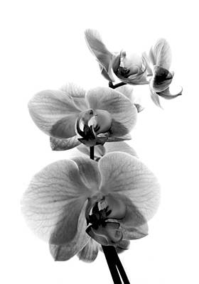 Photograph - Fragile Beauty Black And White by Shawna Rowe