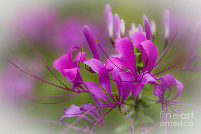 Cleome Photograph - Fragile Tropical Flower  by Heiko Koehrer-Wagner