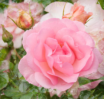Photograph - Fragrant Cloud Rose by Jane McIlroy