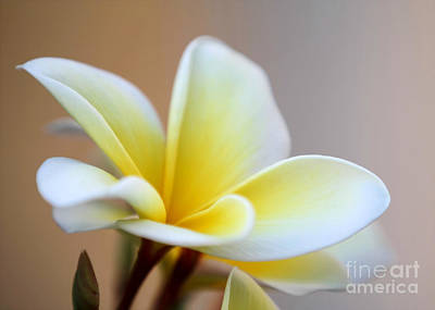 Fragipani Photograph - Fragrant Frangipani Flower by Sabrina L Ryan