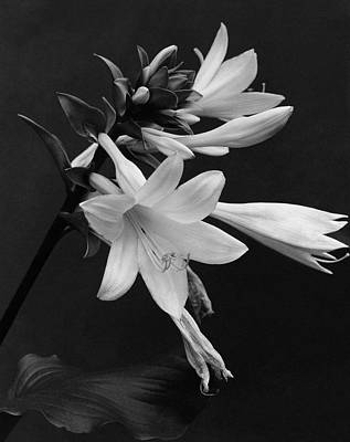 Black And White Photograph - Fragrant Plantain Lily by J. Horace McFarland