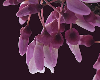 Photograph - Fragrant Redbuds by Don Wolf
