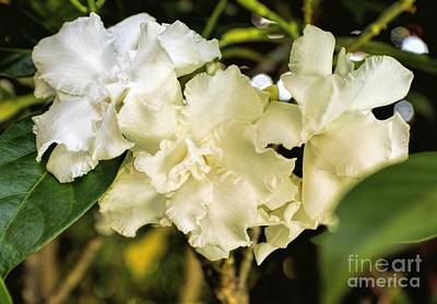 Photograph - Fragrant Trio by Peggy Hughes
