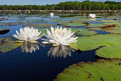 White Water Lilies Photograph - Fragrant Water Lilies On Caddo Lake by Larry Ditto