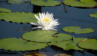 Photograph - Fragrant White Waterlily - Nymphaea Odorata - Florida Native by Becky Erickson