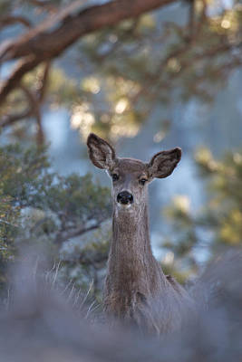 Art Print featuring the photograph Framed Deer Head And Shoulders by Duncan Selby
