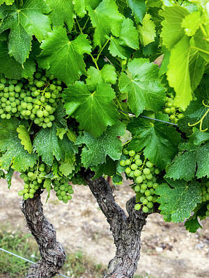 Provence Photograph - France, Provence, French Vineyard by Terry Eggers