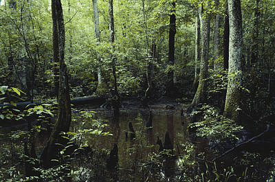 Bottomlands Photograph - Francis Beidler Forest by Larry Cameron