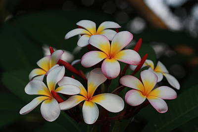Print featuring the photograph Frangipani Bouquet by Keith Hawley