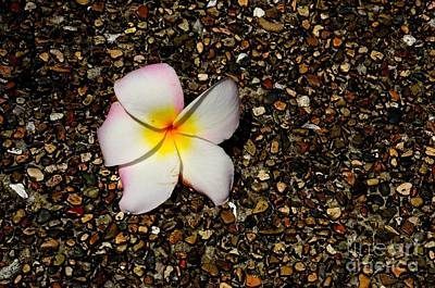 Photograph - Frangipani Plumeria Flower On Pebble Path by Imran Ahmed