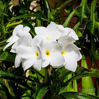 Photograph - Frangipani Freshness by Diane Macdonald