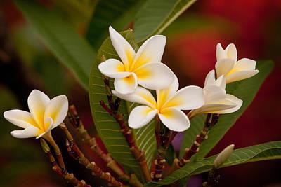 Photograph - Frangipani - Plumeria by Michelle Wrighton