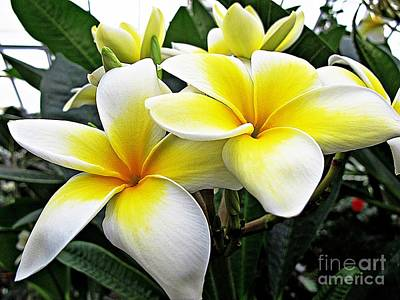 Photograph - Frangipanis by Ethna Gillespie