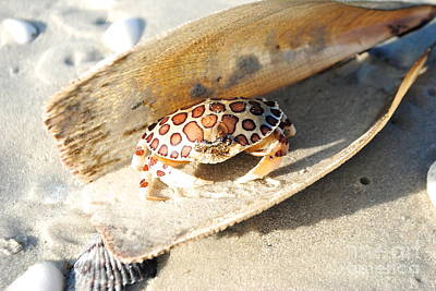 Photograph - Frank The Spotted Crab Of Anna Maria by Margie Amberge