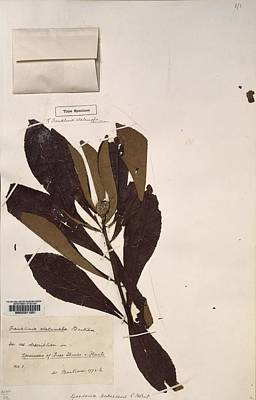 Pressed Flowers Photograph - Franklinia Alatamaha Leaves by Science Photo Library