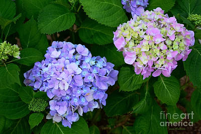 Photograph - Fraternal Twin Hydrangeas by Susan Wiedmann
