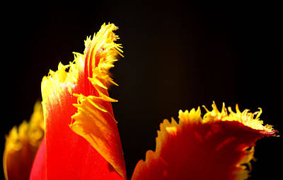 Photograph - Frazzled Tulip by Karen Scovill
