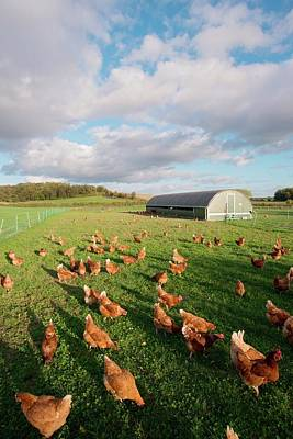 Great Outdoors Photograph - Free Range Chickens by Dr. John Brackenbury