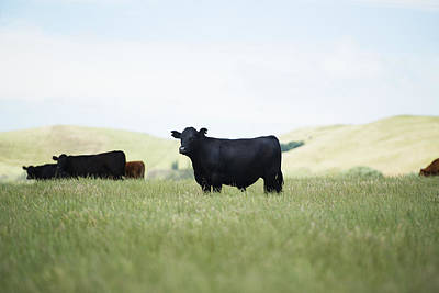 Kobe Beef Photograph - Free Range by Joe Wigdahl