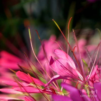 Photograph - Free Spirit Cleome by France Laliberte