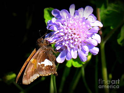 Art Print featuring the photograph Silver Spotted Skipper by Patti Whitten