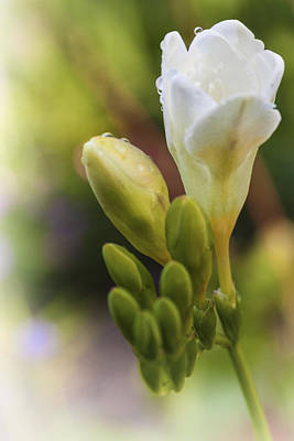 Photograph - Freesia by Caitlyn  Grasso